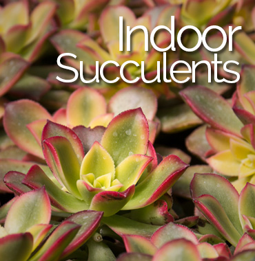 Indoor Succulents