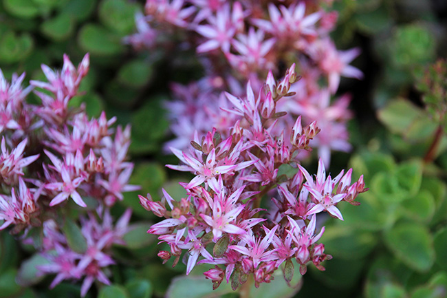 Succulent plant flowers youngs red carpet sedum pink flowers mightylinksfo