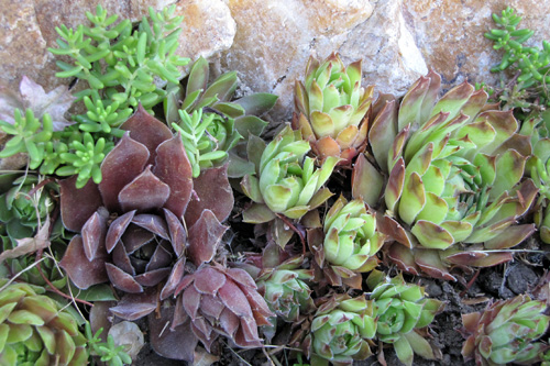 Tips To Propagate Hens And Chicks Youngs