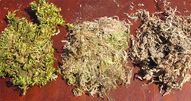 Using Sphagnum Moss With Succulent Plants Youngs