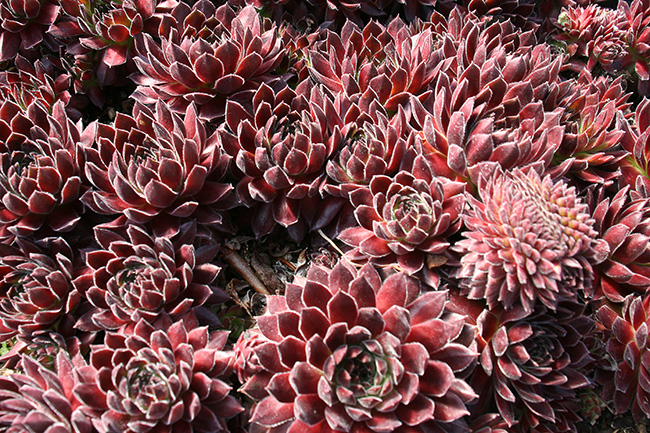 Mutation in Sempervivum